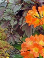 Clivia with begonias and oxalis in the greenhouse