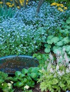 Forget-me-nots and tiraella grow in the shade