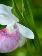 Seduced by a Lady's Slipper