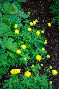 The Globeflower, Troillus, flowers towards the end of May in my Vermont garden
