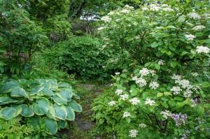 Viburnum Caassinoides,the 'Wild Raisin' has proven immune to the leaf beetle in my garden