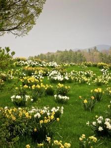 Judith_daffodils