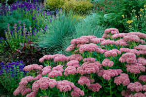 Sedum 'Autumn Joy' paired up with Blue Oat grass (Helictrtrichon)