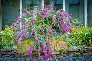 Bush Clover or Lespedeza thunbergii, finished the gardening season with a flourisho