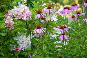 Hydrangea 'Pinky Winky' set off by some Echinacea 'Magnus'