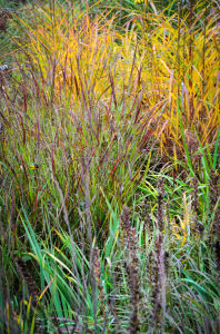 Miscanthus purpurescens with Panicum 'Shenandoah'