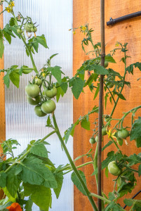 In a few weeks these tomatoes will be ready to sample