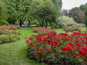 Meandering through the beautifully maintained rose garden, which showcases over 900 varieties of roses.