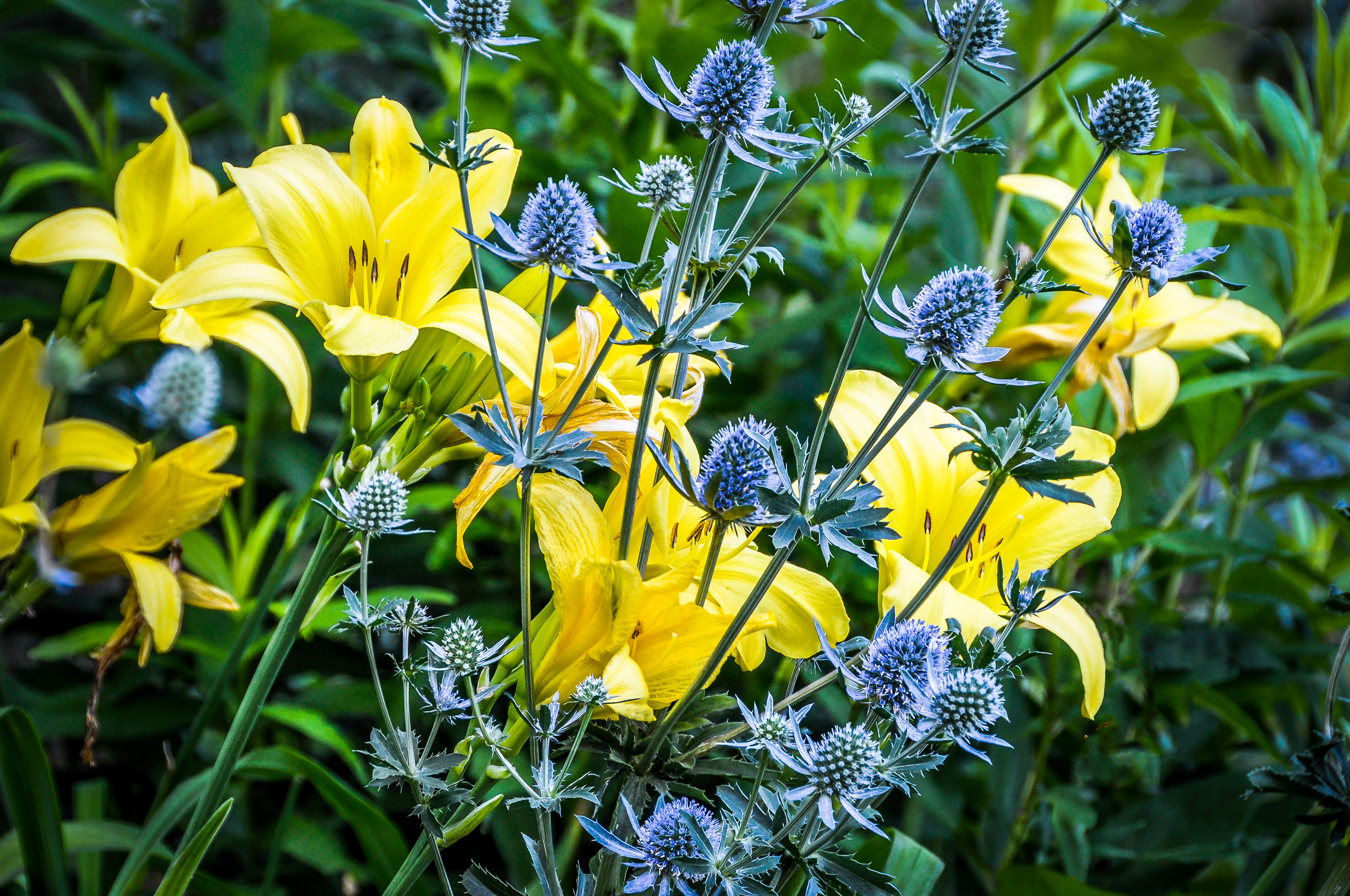 A garden for all seasons north country reflections blue and yellow flowers always look great together as with these late flowering yellow daylilies and some spiky sea holly eryngium planum in early mightylinksfo